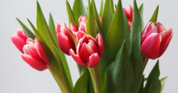 Tulpen Card